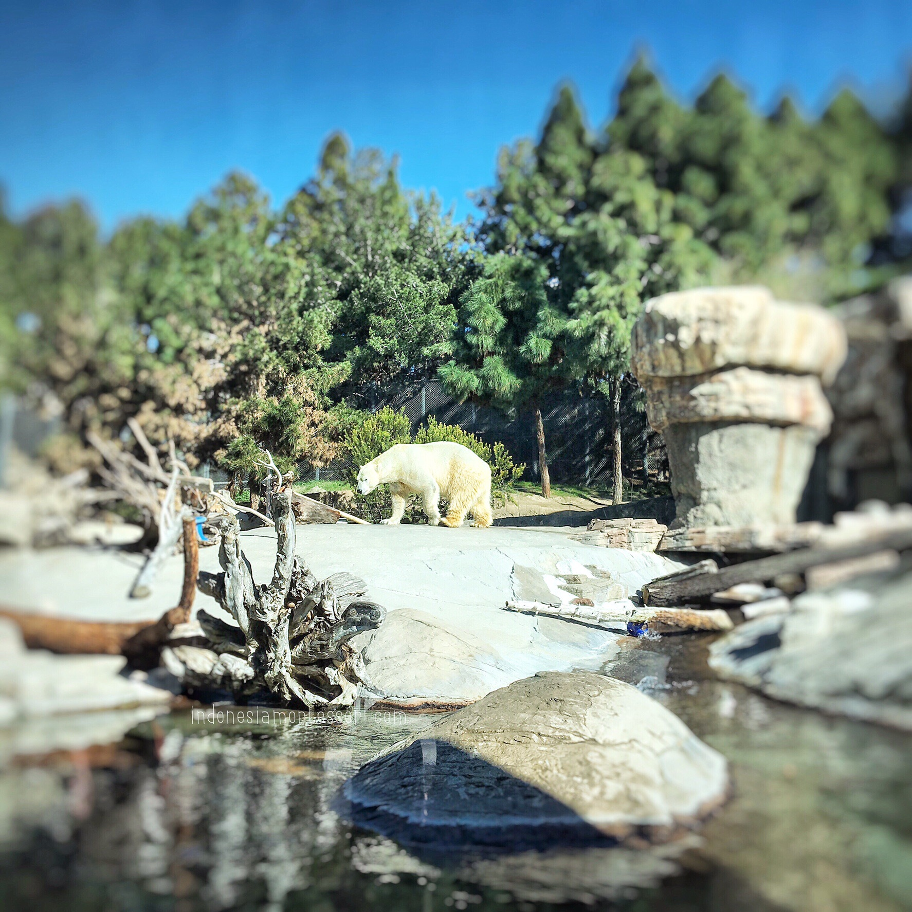 polar bear arctic zoo