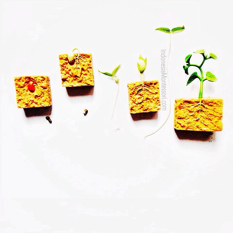 sains anak usia dini siklus hidup kacang hijau
